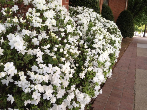 A bush of azaleas I walk by on my way to Shirlington Village.